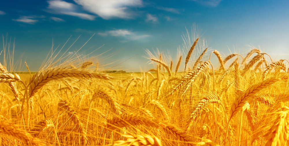 41310884-free-wheat-wallpapers